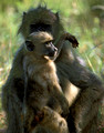 Baboon Mother and Infant Kruger Park
