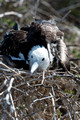 frigate bird chick, North Seymour