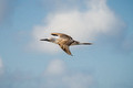 blue footed booby in flight, North Seymour