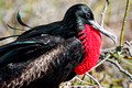 male frigate bird, North Seymour